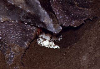 Leatherback Sea Turtle (Dermochelys coriacea) female covering its eggs ...