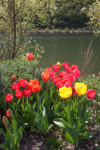 Tulpen am Moselufer