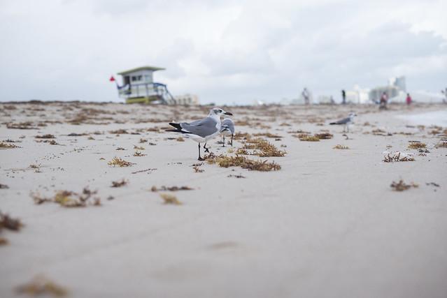 South Beach Gulls