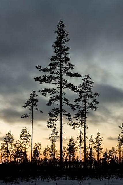Sun setting on pines