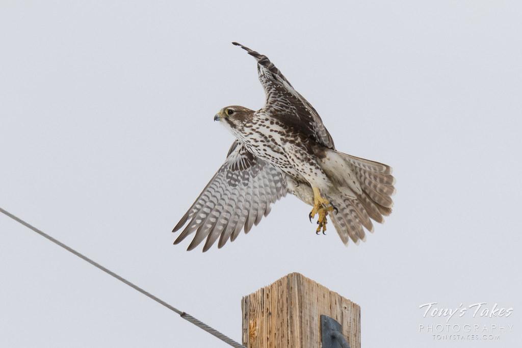 Prairie Falcon takes the Leap Day leap