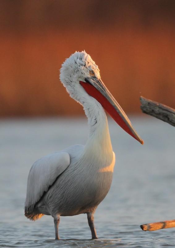 07_pelican cret 006