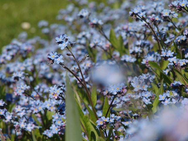 Flowerpower are speaking a universal langsame ...Forget-me-not // Vergissmeinnicht