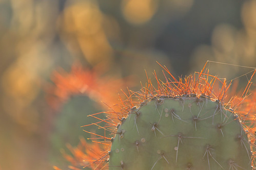 sunset arizona cactus phoenix backlight backlit backlighting desertbotanicgardens