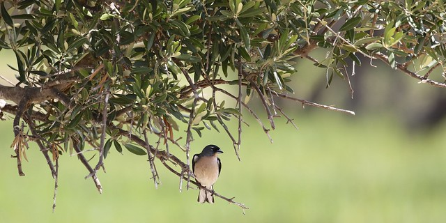 Chaffinch (Fringilla coelebs africana)
