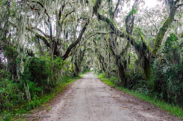 Live Oak Canopy @ Savannah National Wildlife Refuge - Savannah, GA
