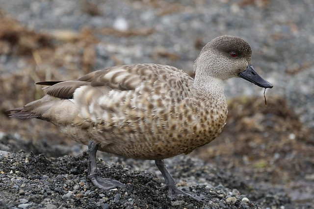 Pato Juarjual / Crested Duck / Lophonetta specularioides