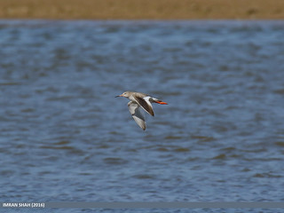 Common Redshank (Tringa totanus) | by gilgit2
