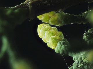 2016-01-30-11.44.54 ZS PMax Hesperocyparis pygmaea-1