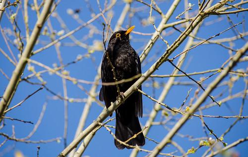 Blackbird in the Pussy Willow | by Doolallyally