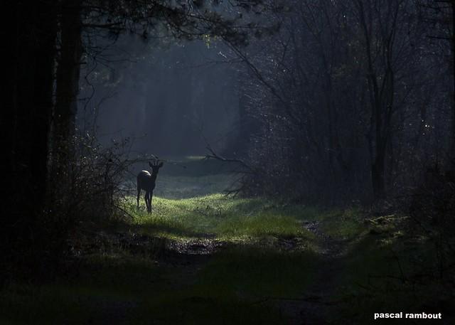 jeune  brocard dans la forêt