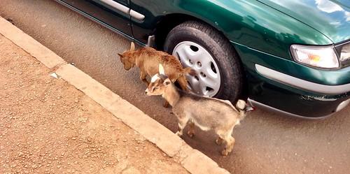 goats ibadan nigeriangoats jujufilms