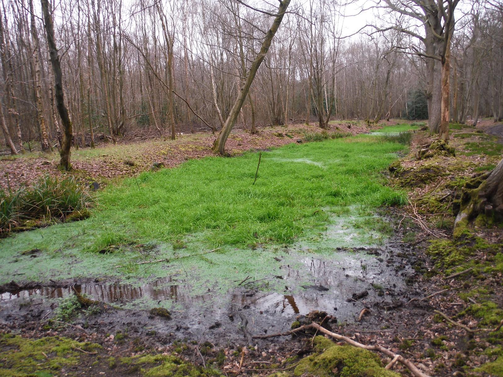 Seasonal Pond in Old Grove, Wormley Wood SWC Walk 168 Broxbourne Circular