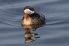 Red-necked Grebe (Podiceps grisegena) Roodhalsfuut by Ron Winkler nature