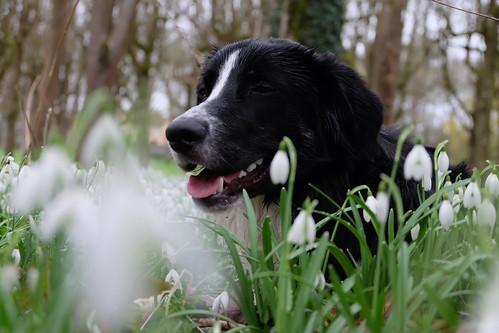 Dog in Galanthus nivalis