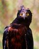 Aguila negra (Oroaetus isidori) by alejocock