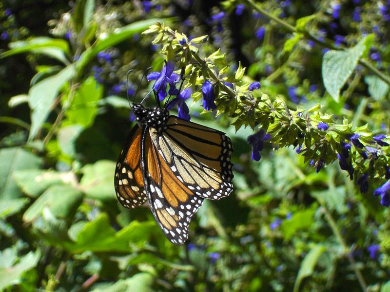 Monarch butterfly in Michoacan | Una mariposa monarca de las… | Flickr