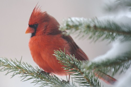 Male Cardinal in Snowy Evergreen | by wjklos