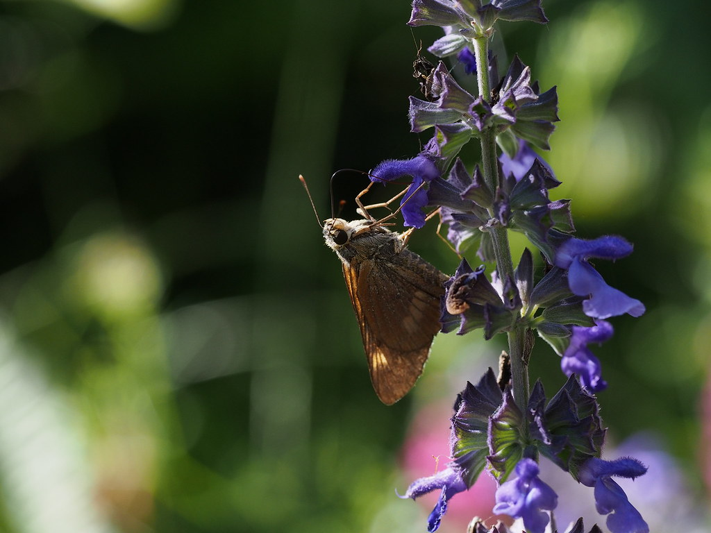 Butterfly on the blue Salvia