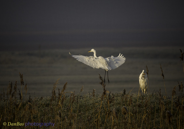 Great White Egrets (Ardea Alba) on a winter morning in Comacchio Lagoon