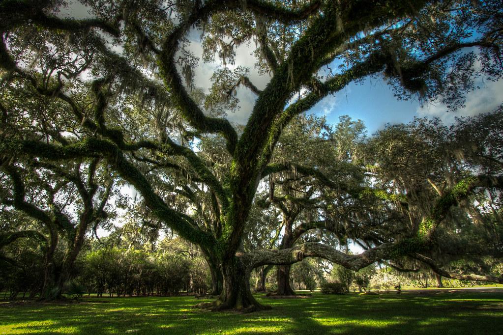 Old Growth Oak in the Louisiana Swamp