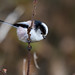Long-tailed Tit - Photo (c) fra298, some rights reserved (CC BY-NC-ND)