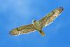 Ferruginous Hawk, Odessa, Lincoln, Washington by Terathopius
