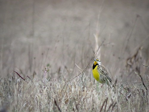 Eastern Meadowlark | by Justin Lee (NoNameKey)