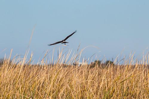 sky grass horizon marsh portaransas northernharrier marshhawk leonabelleturnbullbirdingcenter
