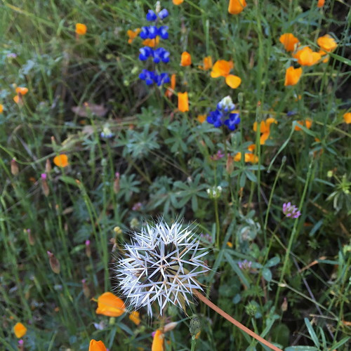 Silverpuff  (Uropappus lindleyii), poppies and lupine | by Tim Berger