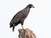 Great Black Hawk by rhysmarsh