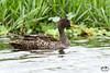 Anas undulata  - Yellow-billed Duck by Marc Nollet