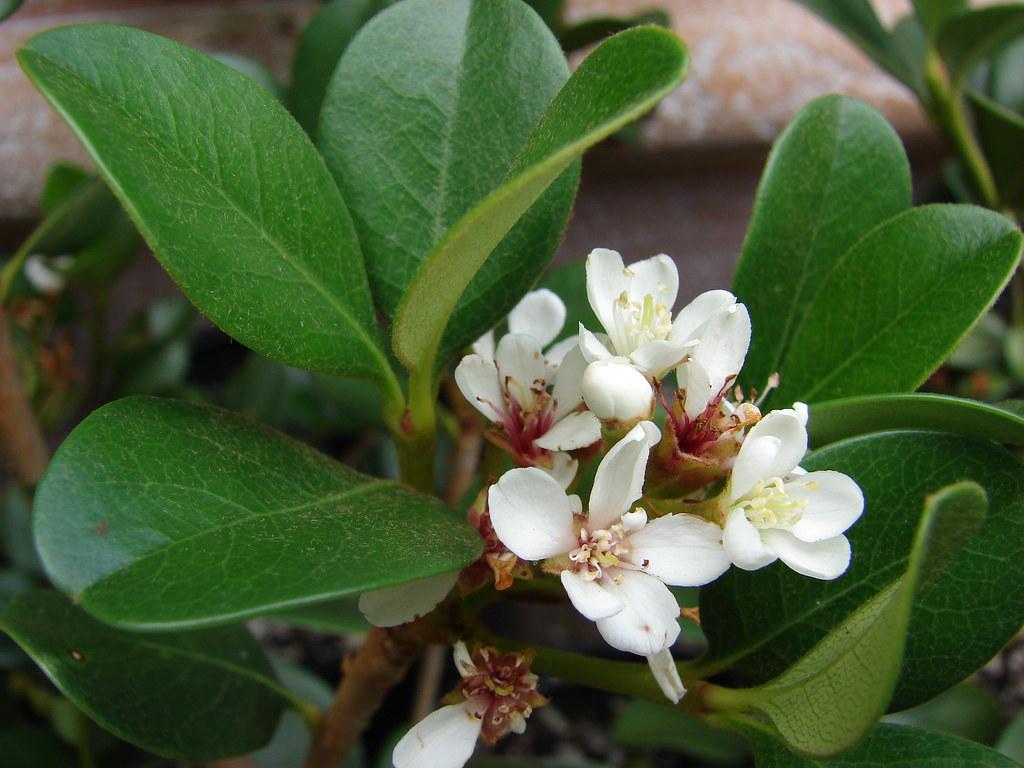 starr-070906-8548-Rhaphiolepis_umbellata-flowers_and_leaves-Kula_Ace_Hardware_and_Nursery_Kula-Maui