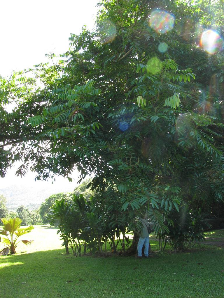 starr-091104-0925-Carapa_guianensis-habit_with_Forest-Kahanu_Gardens_NTBG_Kaeleku_Hana-Maui