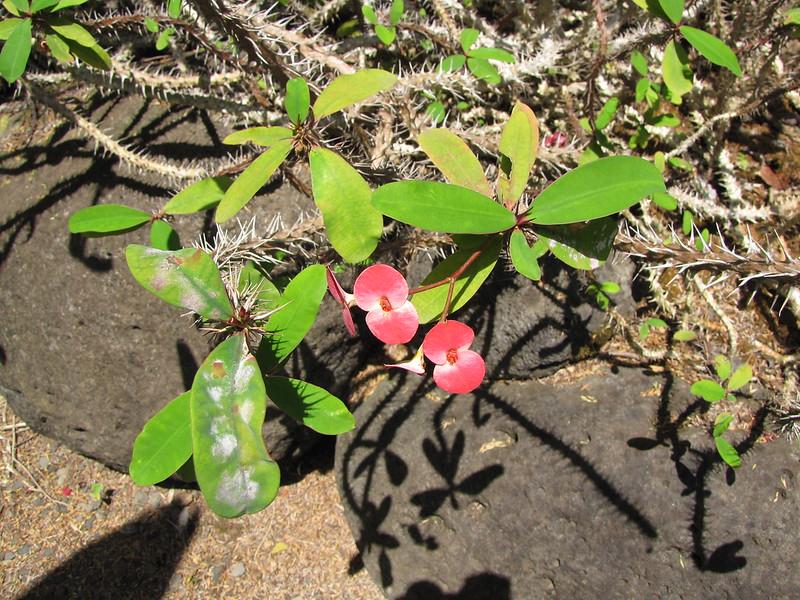 starr-120522-6221-Euphorbia_milii-flowering_habit-Iao_Tropical_Gardens_of_Maui-Maui
