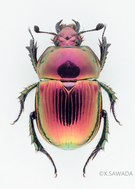 オオセンチコガネ名義タイプ亜種 Phelotrupes(Chromogeotrupes) auratus auratus (Motschulsky,1857) 富山県産-4
