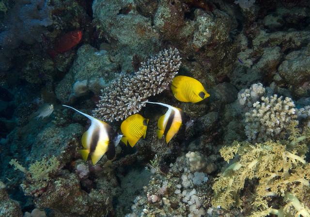 Red Sea Bannerfish, Heniochus intermedius, Masked Butterflyfish, Chaetodon semilarvatus, Ras Mohammad, Red Sea, May 2015