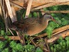 Virginia Rail (Rallus limicola) by simonsr35