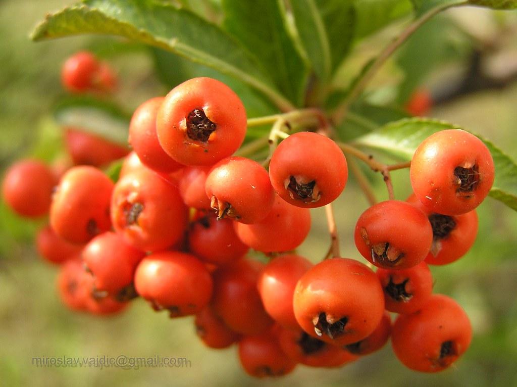 Rowan, Berries, Rowanberry, Red, Berry