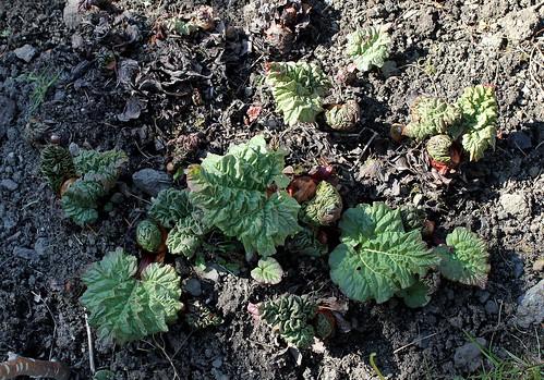 Rheum rhabarbarum - rhubarbe des jardins 25899039556_b0042a06df
