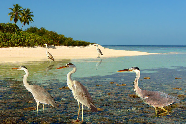 MALDIVES - The grouped herons are watching (?)