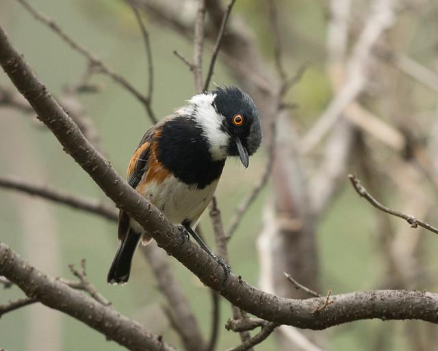 Cape Batis, Batis capensis, Chimanimani, Zimbabwe