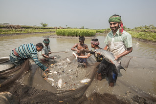 Harvesting fish and prawn from a gher. Photo by Din M Shibly | by WorldFish