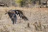 Wedge-tailed Eagle 2016-03-13 (_MG_9945) by ajhaysom