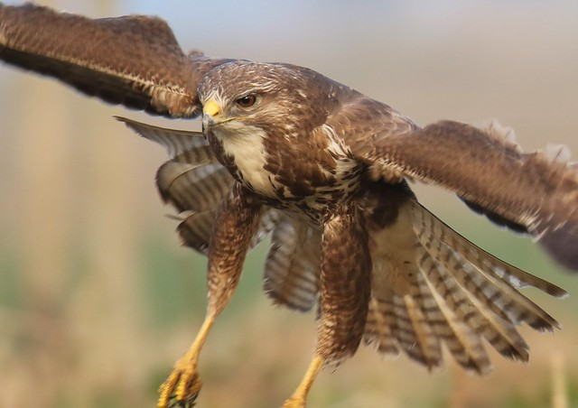 Wild Buzzard   Just landing