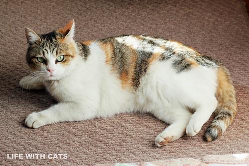 IMG_8135 Calico Japanese cat 縞三毛猫