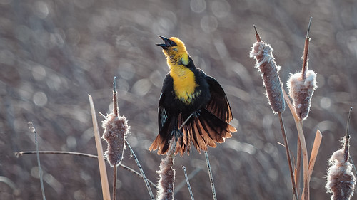 Yellow-headed Blackbird | by Jacques P Raymond