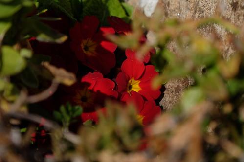 Flor da Picote