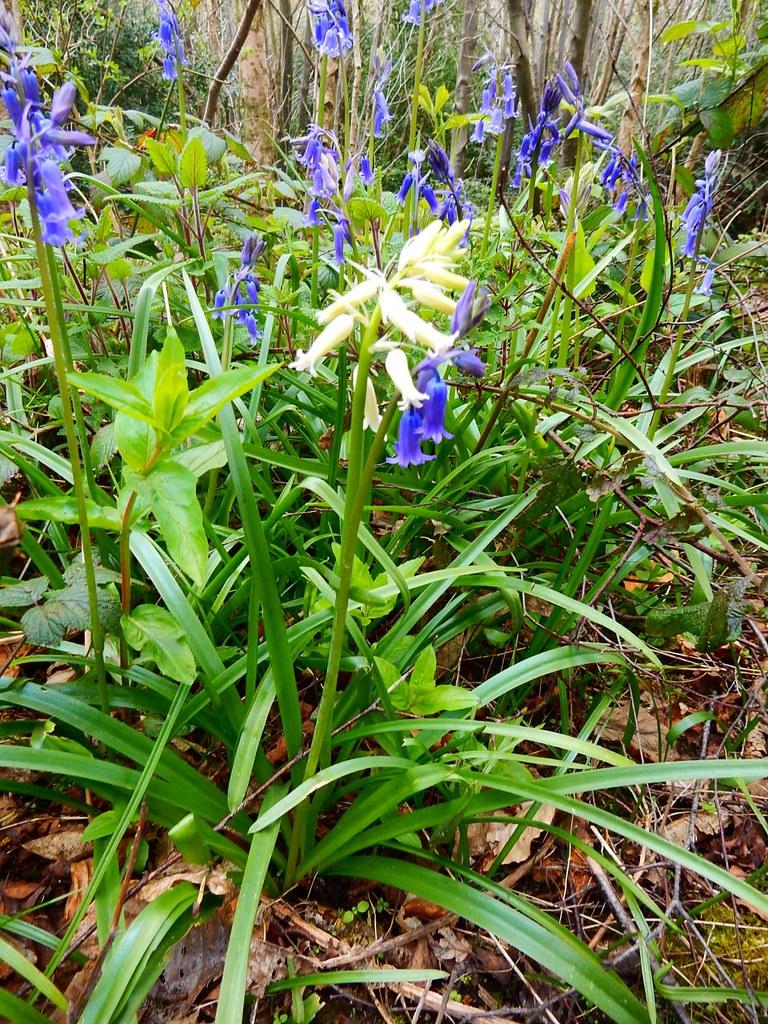 (I'm dreaming of a) White bluebell Sevenoaks to Westerham