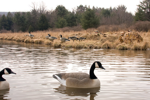 Photo of geese in river, near hunting blind